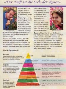 der Duft der Rose wird mittels Duftpyramide beschrieben